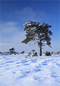 Snow on Beaulieu Heath 