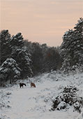 Ponies in the Snow at Crabhat Inclosure 